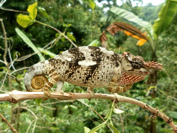 Kameleon in Mazumbai Tanzania