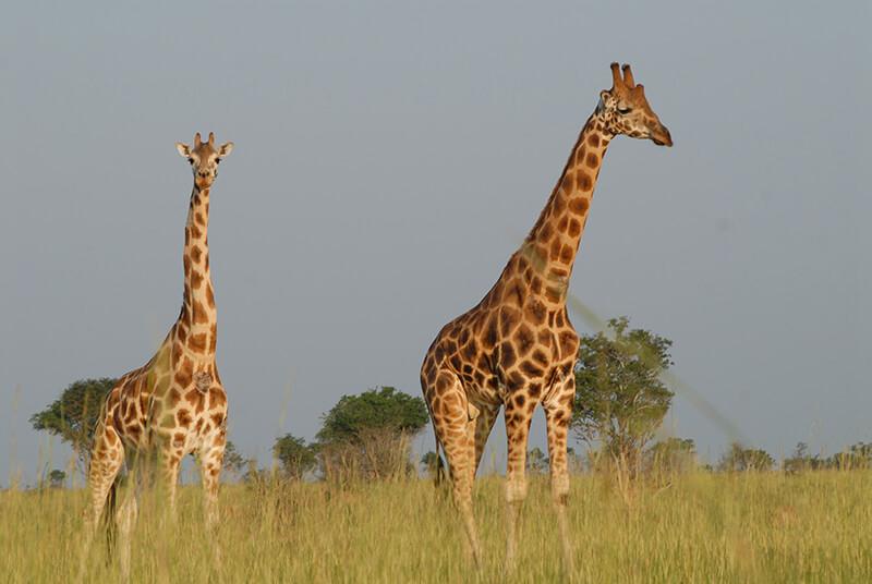 Uganda Afrika giraffe
