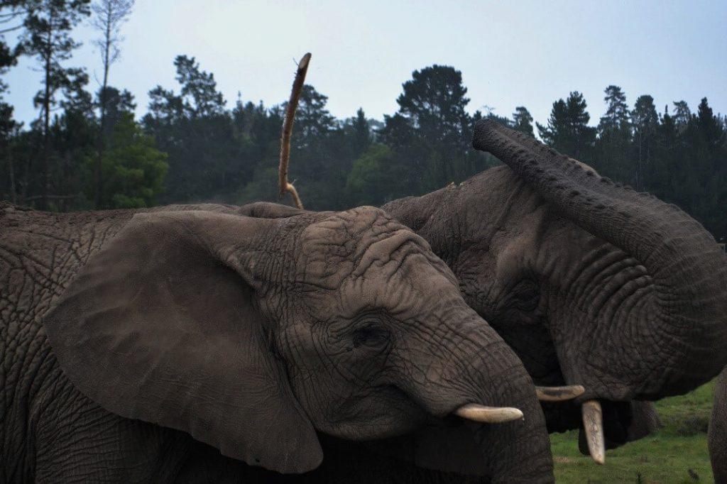 Olifanten knuffelen Zuid Afrika